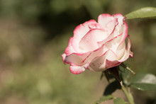 Fancy White Rose With Hot Pink Edges Closeup. Contrast