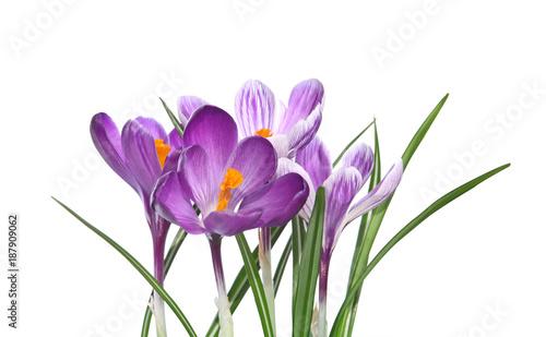 Staande foto Krokussen Crocus violets