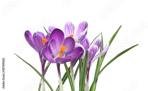 Fotobehang Krokussen Crocus violets