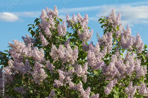 Poster Fleur blooming lilac in the park