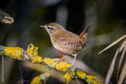 Fotomural Eurasian wren sitting on a branch