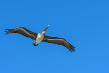 American Brown Pelican Flying....