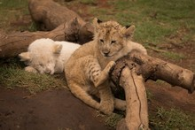 Cubs Relaxing At Safari Park