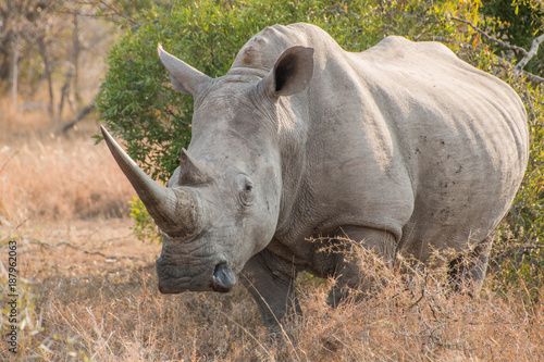 Fotografija  White Rhinoceros standing in grass facing the camera full length