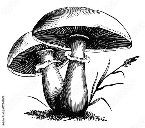 Fototapeta Pilze-fungi-mushrooms-vintage obraz