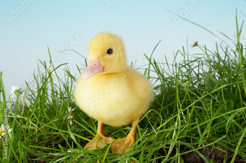 Photo  Duckling in grass