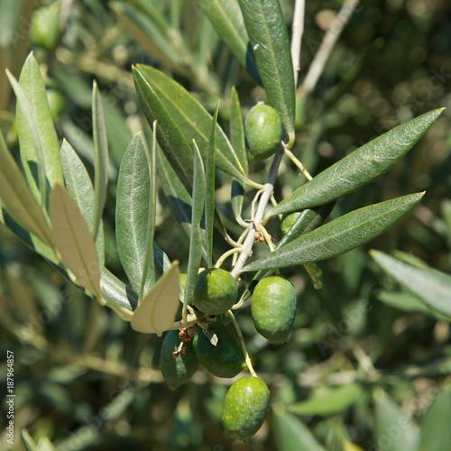 Olives vertes dans un olivier