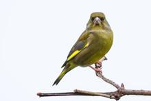 A Portrait Of A Greenfinch Per...