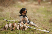 Hunting Dog Epagnol Breton On ...