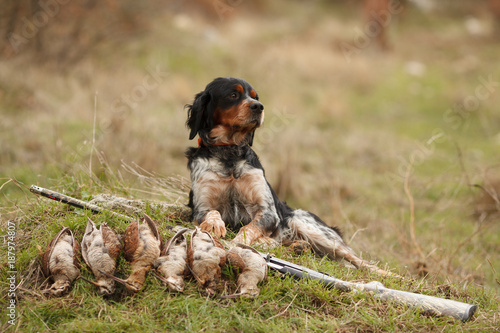 Fotografia, Obraz hunting dog epagnol Breton on the hunt for bird