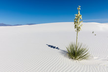 Flowering Yucca With Shadow At White Sands New Mexico
