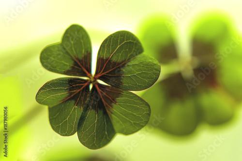 Vierblättriges Kleeblatt, Glückssymbol