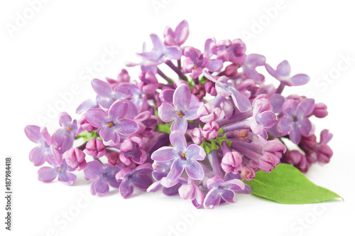 Garden Poster Lilac lilac flowers isolated on white background