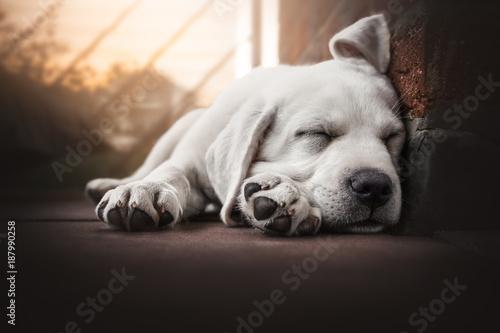 Obraz young cute labrador retriever dog puppy lies in the sun sleeping - fototapety do salonu