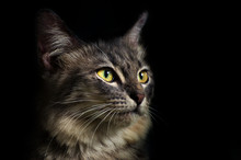 Gray Cat Black Background  Clo...