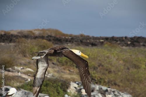 Obraz na plátně Albatros- Galapagos