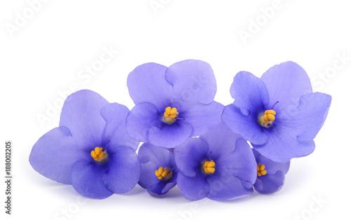 Slika na platnu Saintpaulia (African violets)