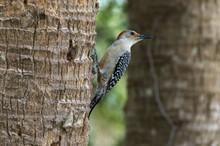 Pic à Ventre Roux,.Melanerpes Carolinus, Red Bellied Woodpecker
