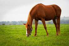 Red Horse Grazing On Pasture.