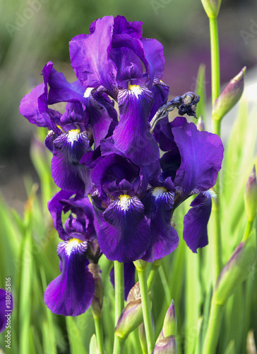 Deurstickers Iris Purple iris flowers