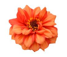 Orange Dahlia Isolated On White Background