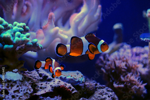 Cuadros en Lienzo Clownfish the most popular saltwater fish in aquariums