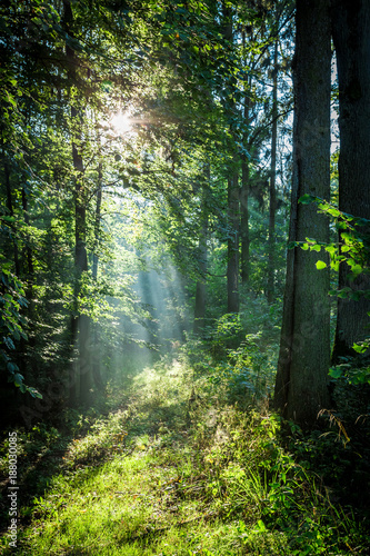 Foto op Canvas Bossen Sunrise in the green forest in summer, Poland