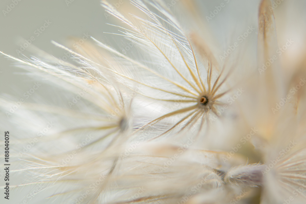 Fototapeta Background dry wild flower macro