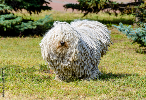 Fotografía  Puli in full face. The Puli stands on the grass in the park.