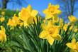 canvas print picture - Gelbe Narzissen im Frühling
