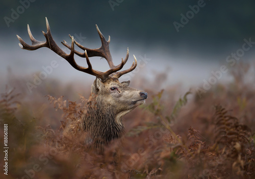 Close up of a red deer stag in the mist