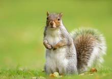 Surprised Grey Squirrel Standi...