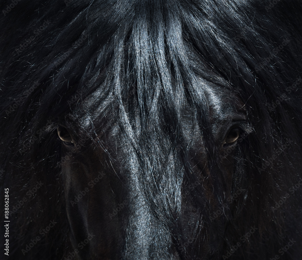 Fototapety, obrazy: Andalusian black horse with long mane. Portrait close up.