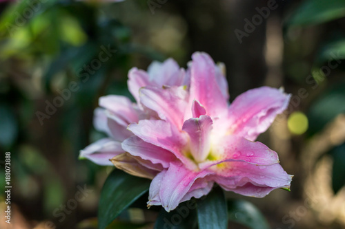 Zephyranthes flower  Common names for species in this genus include