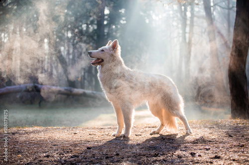 Photo  Dog of breed White Swiss Shepherd in the forest