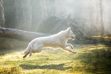 Dog Of Breed White Swiss Sheph...