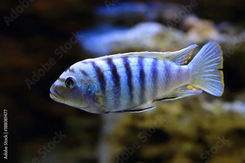 Aquarium fish Pseudotropheus Saulosi closeup