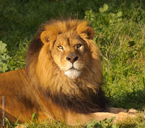 Staande foto Leeuw Closeup of a male Lion