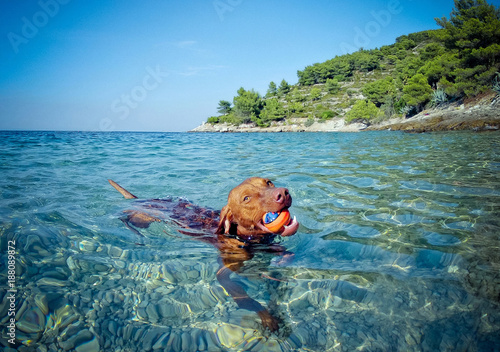 Foto auf AluDibond Blau türkis Brown dog enjoying a day on the beach. He catches the ball and swim in the sea