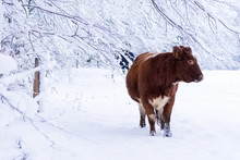 Cow In Winter Snow