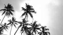 Black And White Coconut Trees