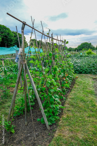 Runner beans growing up canes in the allotment. Wallpaper Mural