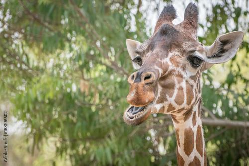 Photo  Giraffe eating leaves