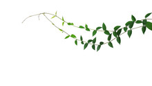 Heart Shaped Green Leaf Wild Climbing Vine Liana Plant Isolated On White Background, Clipping Path Included.