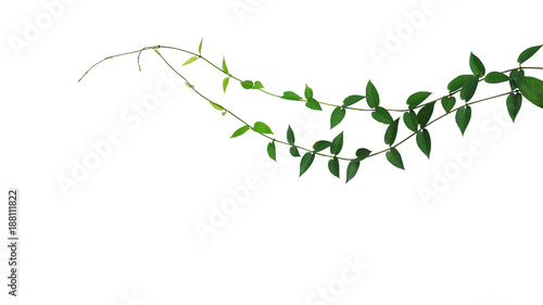 Poster Vegetal Heart-shaped green leaf wild climbing vine liana plant isolated on white background, clipping path included.