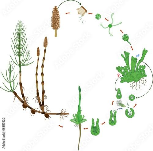 Equisetum Life Cycle Diagram Of Life Cycle Of Horsetail Equisetum