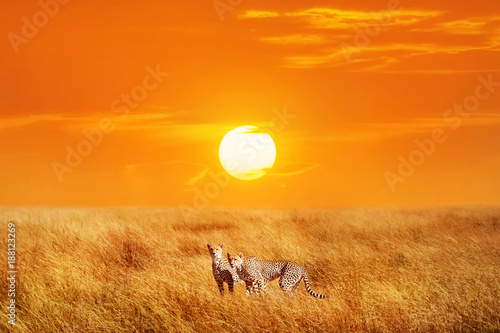 Group of cheetahs in the African National Park. Sunset background.