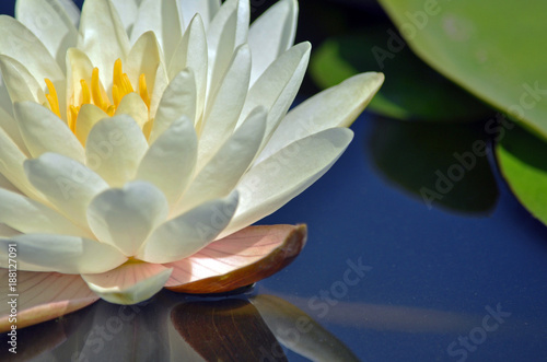 Poster de jardin Nénuphars water lily reflection