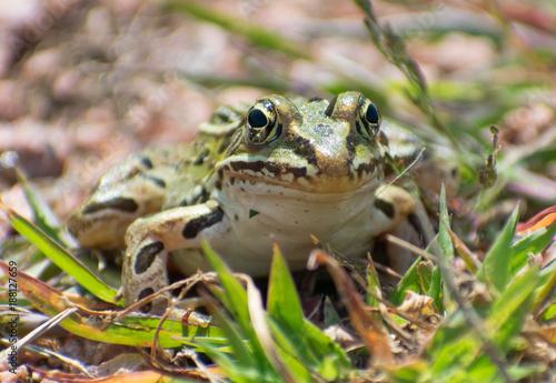 Tuinposter Kikker Frog Closeup