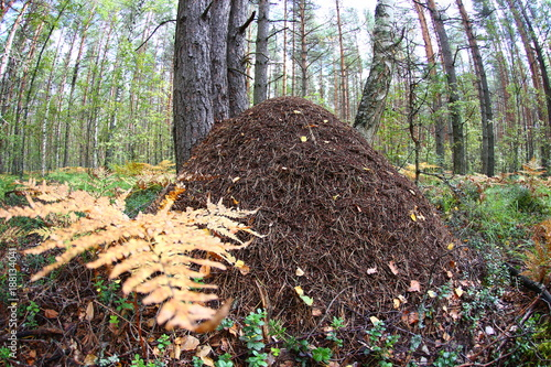 Photo a large anthill close-up against a pine forest. fish eye lens